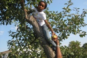 A girl picking apples from a tree.