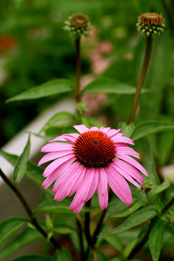 A pink-purple coneflower.