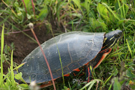 A painted turtle.